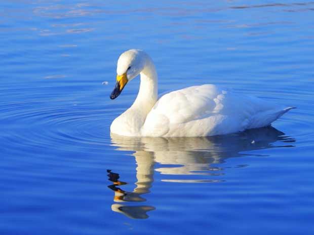 冬の新潟観光を楽しむ♪【白鳥の郷公苑】のご紹介