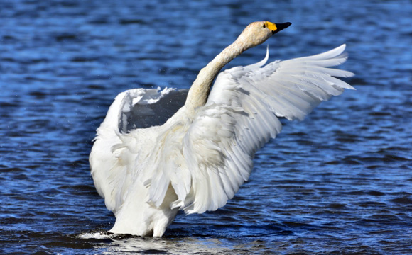 冬の風物詩 白鳥の飛来状況♪